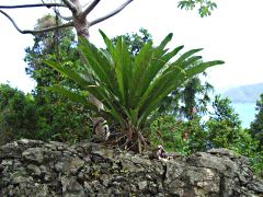 bromeliad on stone wall mountain road stj