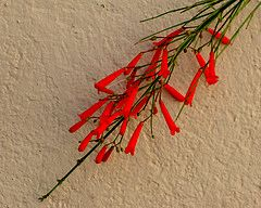 red trumpetflower on tan wall by D Knisely