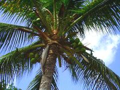 coconut palm from below
