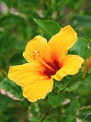 yellow hibiscus by uzvards